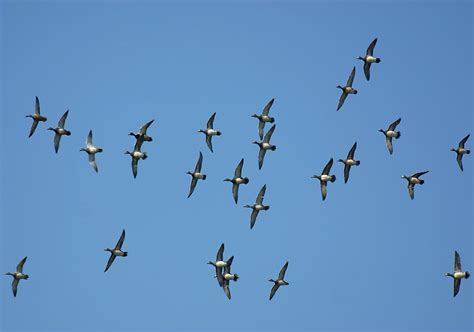pictures of ducks flying