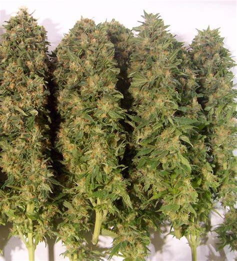 wann hanf ernten cannabis trocknen 1000seeds