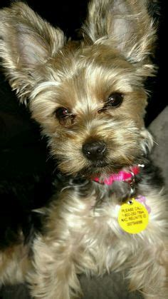 yorkie hypoallergenic 1000 images about terrier on terrier puppies for
