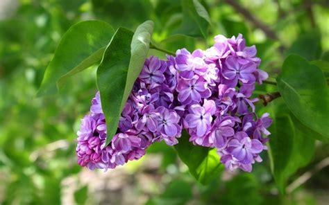 purple lilac purple lilac flower hd desktop wallpapers 4k hd