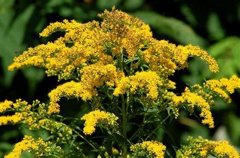 grow  care  goldenrod plants