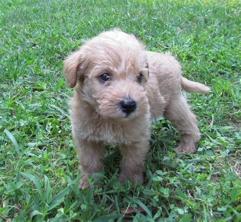 list of dogs black white list of hypoallergenic dogs with pictures breeds puppies list of