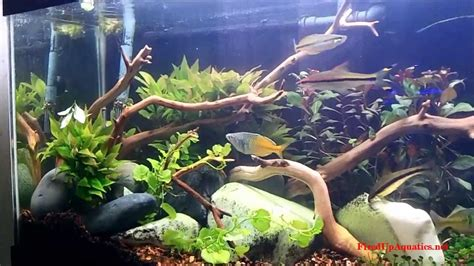 Aquascaping With Driftwood by Aquascaping With Manzanita Driftwood