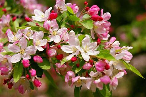 fiori di melo fiori melo fiori di piante caratteristiche dei fiori