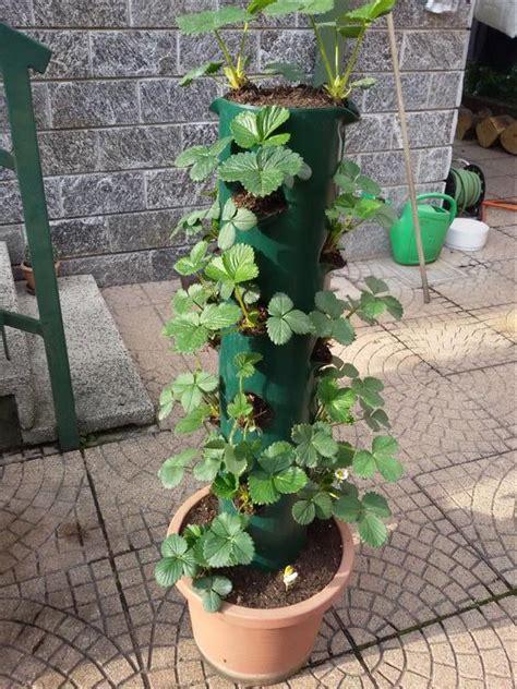 fragole in vaso sul balcone p 236 creativa orto sul balcone fragoliera fai da te