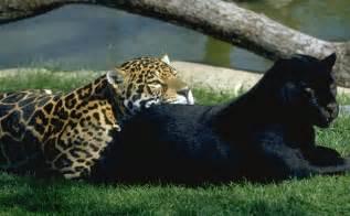 Al Jaguar El Jaguar