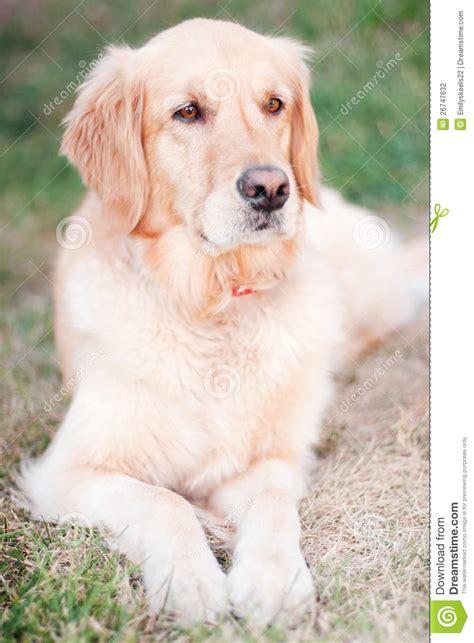 purebred golden retrievers purebred golden retriever stock photography image 26747632