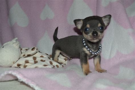 blue chihuahua puppies what is a blue chihuahua how are blue chihuahua puppies different brown hairs