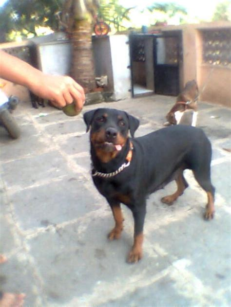rottweiler price price in india rottweiler puppy for sale in bangalore india pets world