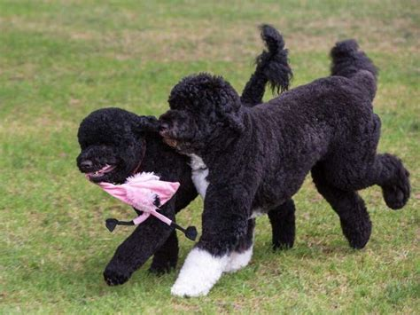 first dog white house bo is better than sunny in wh dogs business insider