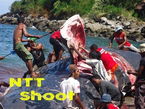 Minyak Ikan Cap Ikan Paus minyak ikan paus untuk penerangan di ntt