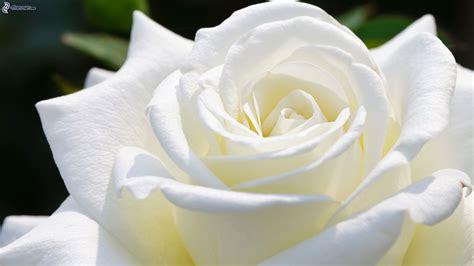 imagenes de luto rosa blanca rosa blanca