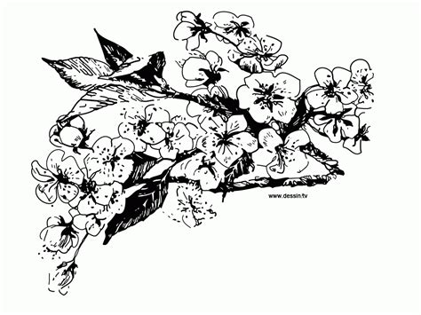 cherry blossom coloring pages coloring home