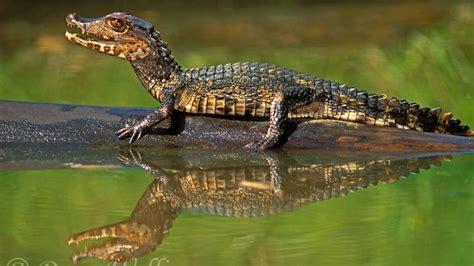 sunday crocodilian paleosuchus palpebrosus edition