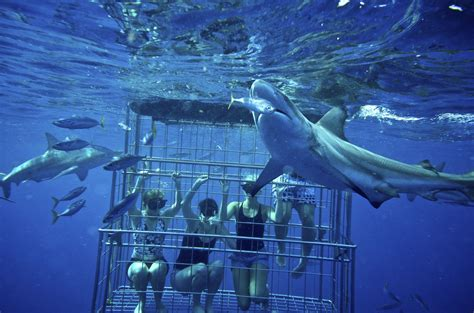 cage dive with sharks shark cage diving kzn