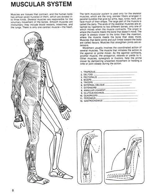 Muscular System Worksheet by Human Growth Development South Junior High School