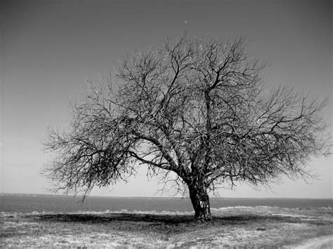 wallpaper black and white trees tree black and white free wallpapers 4286 amazing wallpaperz