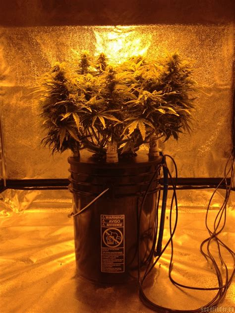 northern light blue auto delicious seeds cannabis
