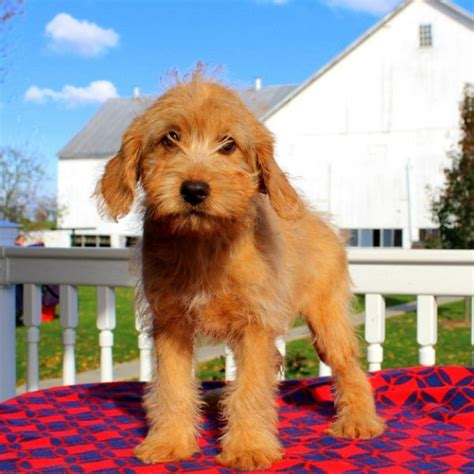mini labradoodles sale pin by greenfield puppies on miniature labradoodle