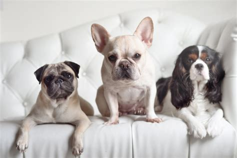 how much do pugs cost to buy bulldog and pug dogs in our photo
