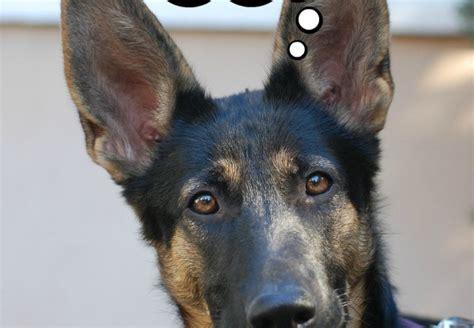puppy translator behavior archives dogvills