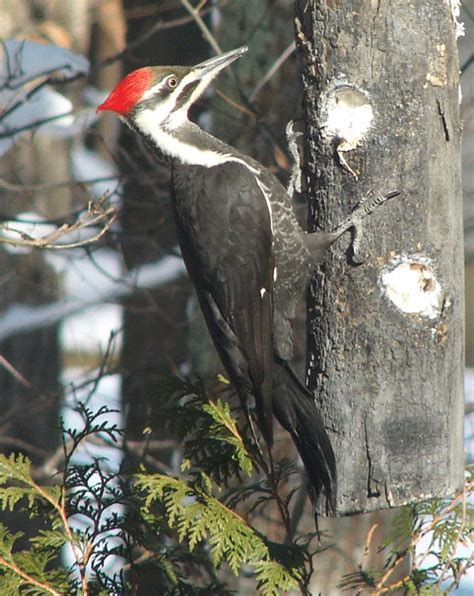 pleated woodpecker this guy is slowly pecking our cedar