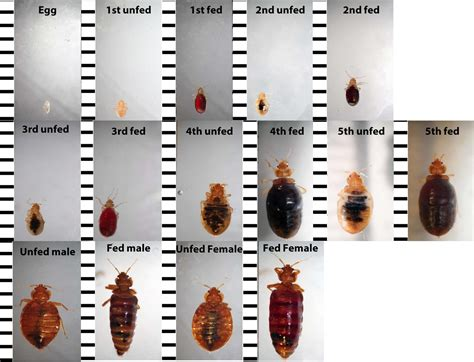 identifying bed bugs ysk how to identify bed bugs accurately youshouldknow