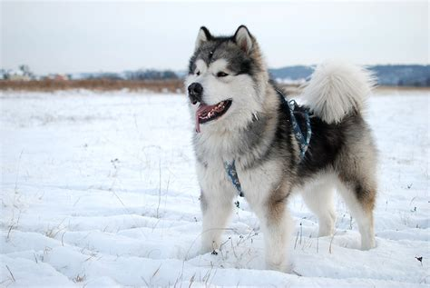 alaska puppies 10 facts about the alaskan malamute the state s official gray line alaska