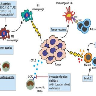 pattern recognition receptors in cancer progression and metastasis tumor promoting effects of innate immune cells cells of