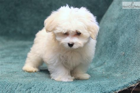 maltese puppies near me maltese puppies for sale maltese puppies for sale