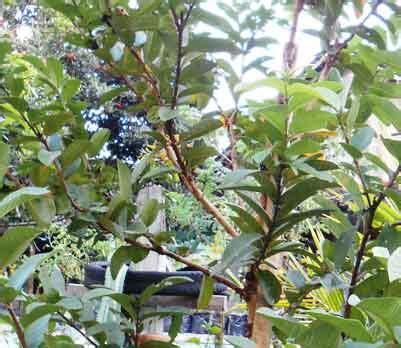 aneka tanaman sekitar rumah berkhasiat obat daun ijo