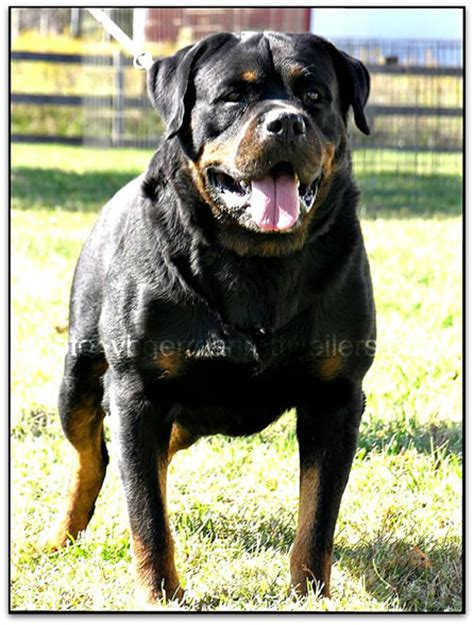 german import rottweilers rottweiler stud of german import offered philippines breeds picture