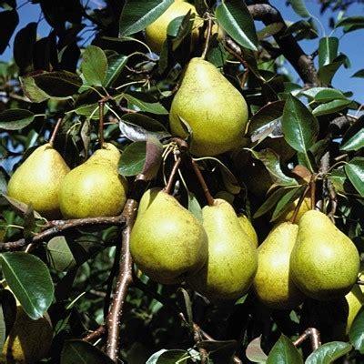 133 ryly standard jumbo kieffer standard jumbo pear direct gardening