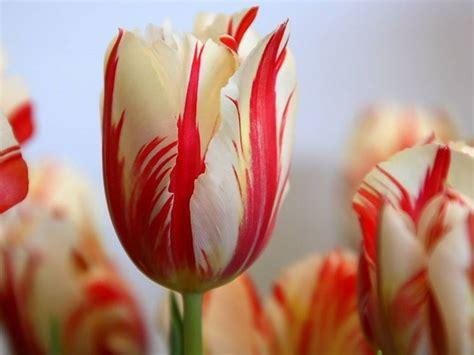 dizionario dei fiori il linguaggio segreto dei fiori dizionario significato