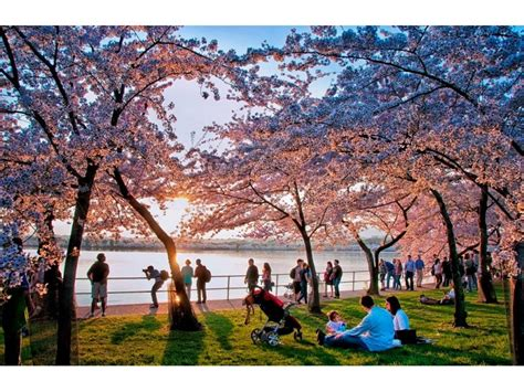 cherry blossom festival dc dc cherry blossom festival 2016 tips for seeing the
