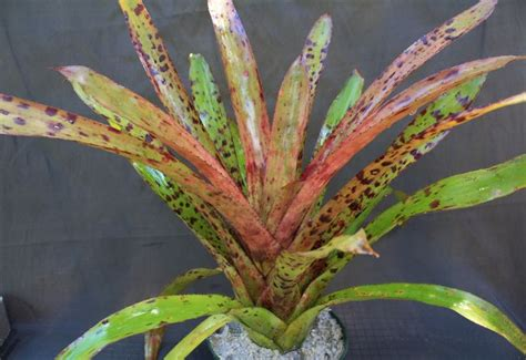 bromeliad plant  flower care growing indoor  outdoor