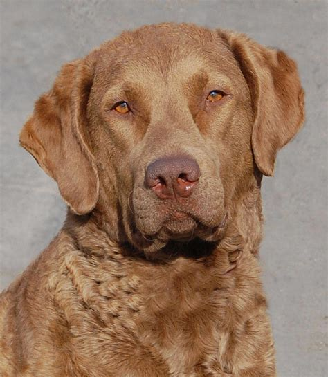 chesapeake retriever puppy chesapeake bay retriever breed guide learn about the chesapeake bay retriever