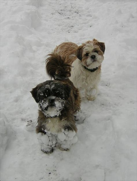 shih tzu mating shih tzu image search results