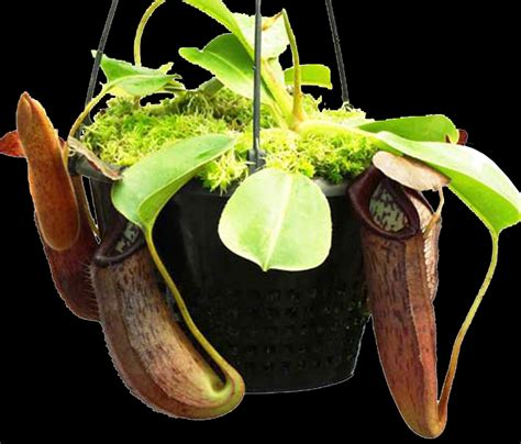 Venus Flytrap Seeds Mix Hybrids nepenthes glandulifera x robcantleyi medium potted