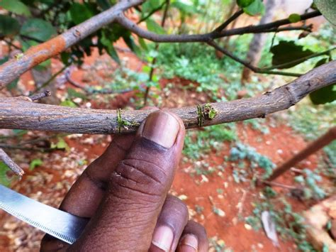 propagating fruit trees make two clean cuts around the branch about one inch apart