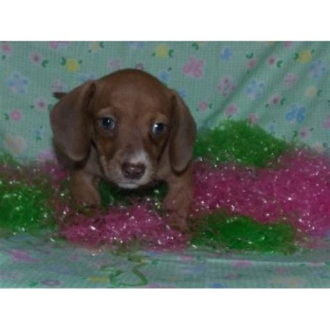 dachshund puppies okc jennifers dachshunds dachshund breeder in mead oklahoma listing id 21276