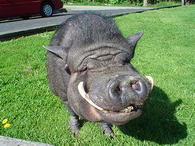 Related Keywords & Suggestions for pig tusks