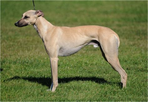 whippet breed whippet puppies pictures facts rescue temperament breeders animals breeds