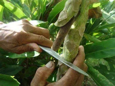 Pupuk Bunga Yg Bagus teknik dan cara baru mencangkok pepaya fokus tanaman