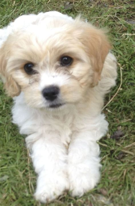 cavachon puppies cavachon puppies looking for forever home manchester greater manchester pets4homes