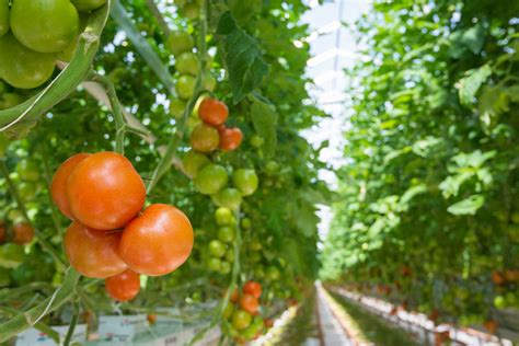 How Much Sun Do Tomatoes Need Colorgardening Com How Much Sun Does A Vegetable Garden Need