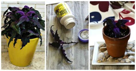 purple passion plant cuttings   propagate gynura