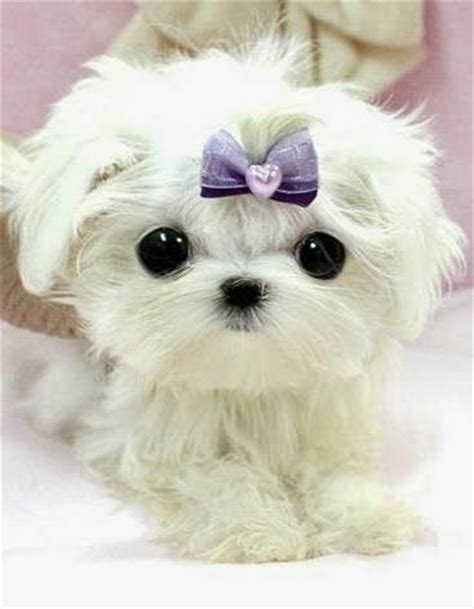 most adorable puppies 5 most adorable teacup puppies awww