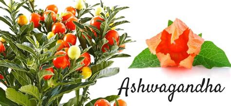 Ashwagandha Before Bed by Ashwagandha Anti Aging Herb That Works Health And