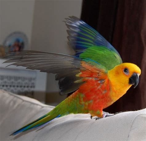 jenday conure flickr photo sharing